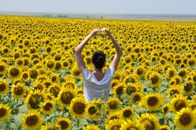 camp de floareasoarelui - sunflower field