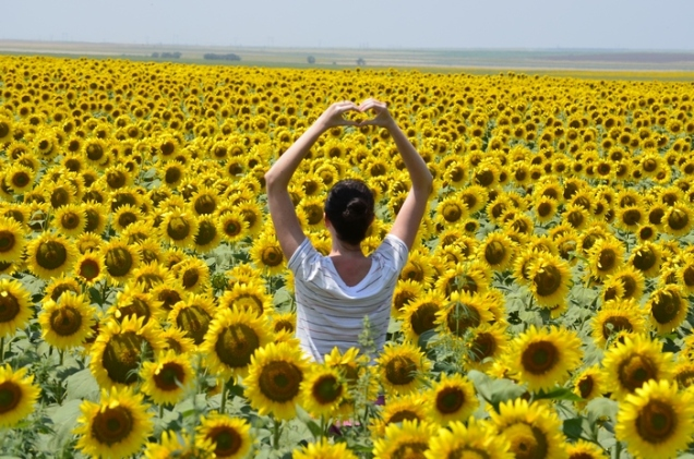 camp de floareasoarelui - sunflower field