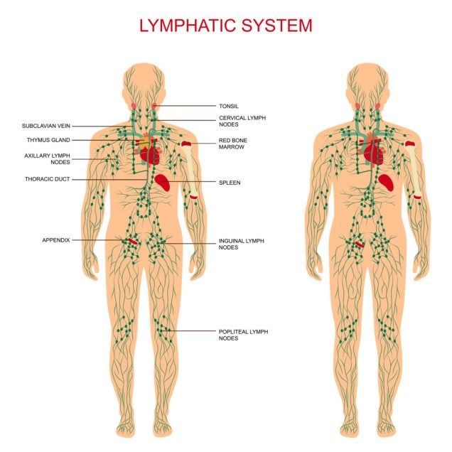lymphatic-system-1024x1024