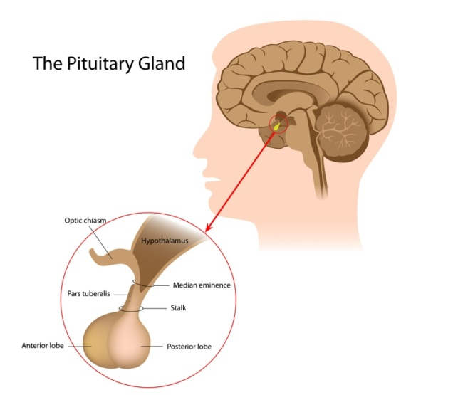 Pituitary-HG