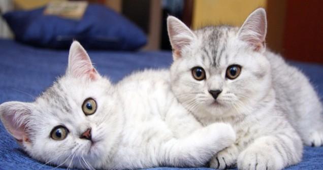 doi-pisoi-pisici-720x380