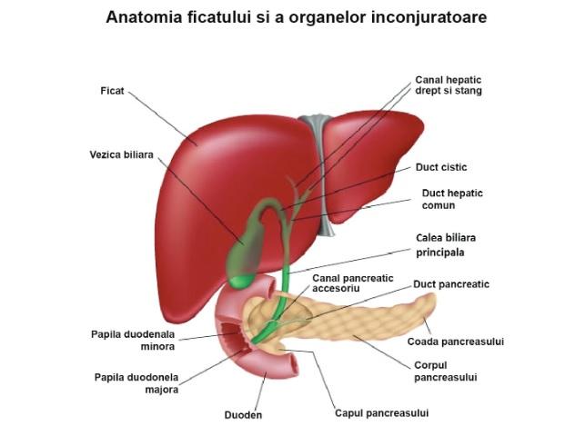 Anatomia-ficatului